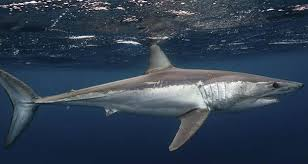 interesting sharks album on ur mako shark