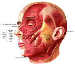 face anatomy face wikipedia