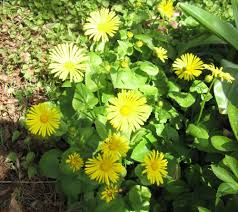 doroni leopard s bane yellow daisy like flowers in spring pact habit prefers moist soils and part shade may go dormant in summer