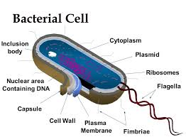 collection bacteria cell diagram pictures   diagramscollection cell diagram with functions pictures diagrams