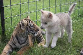 baby wolf. Fine Wolf This Baby Wolf And Tiger Became BFFs Proving That Anything Is  Possible To E