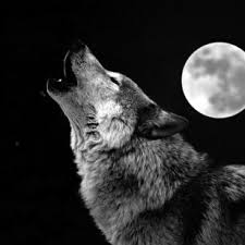 black and white wolf howling photography. Wonderful Howling BW Wolf Howling At Moon Classic Round Sticker And Black White Photography T