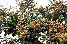 Níspero japonés: Características y propagación Frutales - Flor de Planta