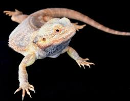 bearded dragons need heat a strong white light and ultraviolet light they eat plants and animals bearded dragons may not get along if crowded