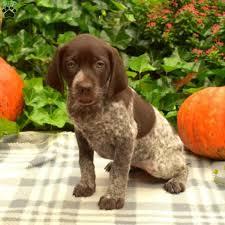 bebe german shorthaired pointer puppy