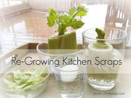 Kitchen Scrap Gardening Re Growing Kitchen Scraps My Frugal Garden Christa Clips