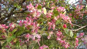 flowering plum trees add beauty to a landscape