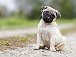 Pug Dog Vaccination Chart Dog Bite Treatment First Aid Seeking Help And Prevention