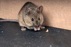 Difference Between Deer Mice And House Mice Rodent Control