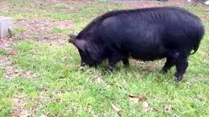 Image result for american guinea hog