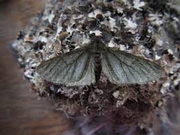 Small Moths In Bedroom Carmarthenshire Moth And Butterfly Group February 2017