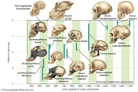 Human Evolution Increasing Brain Size Britannica