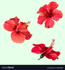 hibiscus flowers three red hibiscus flowers royalty free vector image