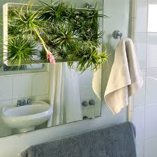Not only are they a lovely visual addition to a space, creating softness and adding color, but they also perform the dirty labor of cleaning toxins from the air. Tillandsia Air Plant Decorating Ideas In The Bathroom