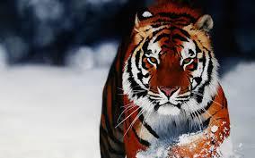 siberian tiger wallpaper desktop. Contemporary Desktop Tigers Images Siberian Tiger HD Wallpaper And Background Photos In Wallpaper Desktop E