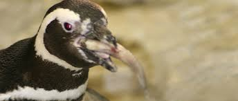 emperor penguins eating. Perfect Eating Magellanic Penguin Intended Emperor Penguins Eating A