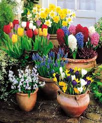 brighten up your home with colourful potted spring bulbs