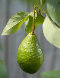 How To Grow Custard Apple Trees From Seed  EBayHow To Graph A Fruit Tree