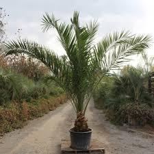 Canary, island, date, palm, hardy, palm, tree, farm