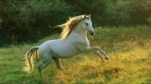 white horses. Exellent Horses Most Beautiful White Horse In The World Intended Horses