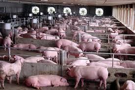 Kết quả hình ảnh cho công nhân chăn nuôi lợn