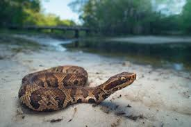Louisiana Snakes Chart How To Identify A Water Moccasin Sciencing