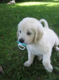 white golden retriever puppies for sale. Simple Puppies White Golden Retriever Puppies On White Golden Retriever Puppies For Sale E