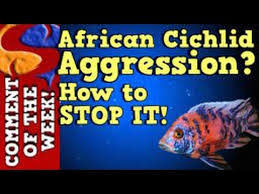 African Cichlid Aggression Chart African Cichlid Aggression Why It Happens And How To Stop It Cotw Episode 10