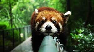 1920x1080 Cute Red Panda desktop PC and ...