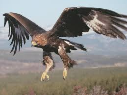 golden eagles flying. Unique Golden Golden Eagles Images Beautiful Eagle In Flight HD Wallpaper And  Background Photos To Flying