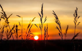 Golden hour photography of wheat field ...