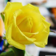 yellow rose wallpaper yellow rose pic in hd