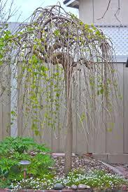 Morus Alba Stock Images RoyaltyFree Images U0026 Vectors  ShutterstockTeas Weeping Fruiting Mulberry Tree