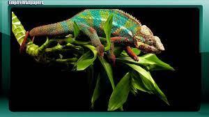 Chameleon Wallpaper for Android - APK ...