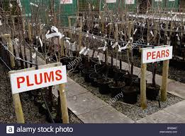 Kumquat Dwarf Citrus  Great For Pots  Terra  Zone 10 Pots For Fruit Trees
