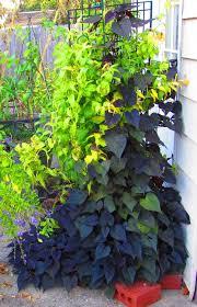purple sweet potato plant. Perfect Purple Photo Of Sweet Potato Vine Ipomoea Batatas U0027Sweet Caroline Sweetheart  Purpleu0027 Uploaded With Purple Plant V