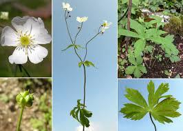 Ranunculus platanifolius L. - Sistema informativo sulla flora delle ...
