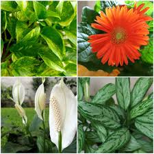 ... Awesome Household Plants By Air Quality Plants Collage.jpg.x Q Crop  Smart ...