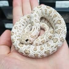 Designer Morphs Western Hognose Snakes Super Arctic Toffee Western Hognose Heterodon Nasicus