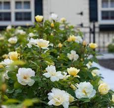 Fragrant Rose Plants