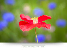 flower wall decor and canvas prints red poppy with blue flowers on green background on large blue flower wall art with red poppy with blue flowers in background wall art canvas print