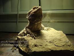 Bearded Dragon Night Light Normal By Day Phase By Night Bearded Dragon Org