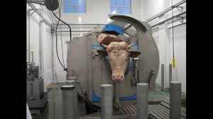 Image result for cow slaughterhouse