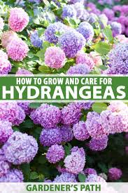 How To Plant Grow And Care For Hydrangeas For Big