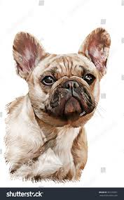 drawing dog french bulldog portrait oil painting on a white background