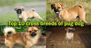 top 10 cross breed pug dog