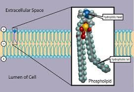 phospholipid definition structure