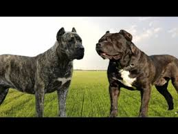 Presa Canario Weight Chart Presa Canario Vs Cane Corso What Are The Main Differences