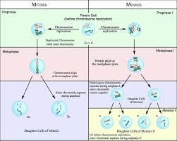 Comparing Mitosis And Meiosis Venn Diagram 3 Mitosis Vs Meiosis Diagram And Quiz Oasissolutions Co