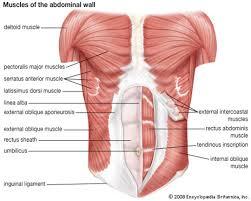Stomach Muscle Chart Muscle Charts Massagelongbeachca Com